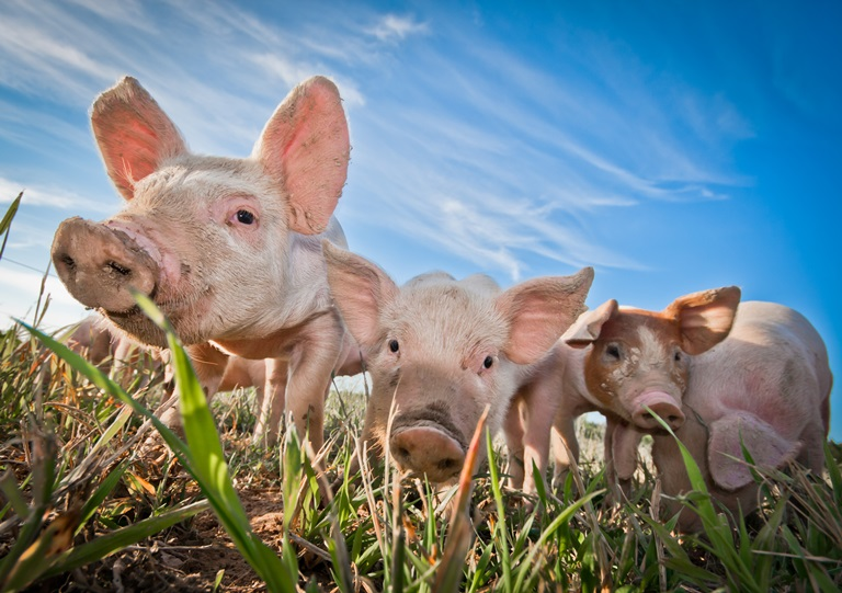 pigs-health-farmers-wealth